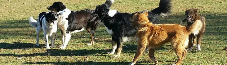 american dream collies